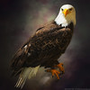 Bestiary XIII Bald  Eagle (Humandecoy - on and off, mostly off) Tags: france bird bravo eagle baldeagle vienne textured birdofprey vogel americanbaldeagle rapace chauvigny roofvogel colorefex specanimal humandecoy pscs4 lesgéantsduciel giantsofthesky magicunicornverybest magicunicornmasterpieces semperdiatramproc nex3 sonynex