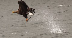 A BIG HIT! (look at the splash) Wild Sea Eagle 1 second after catching a fish (www.willdawesphotography.co.uk) Tags: sea wild fish scotland fishing eagle will mull 2010 dawes wwwwilldawesphotographycouk