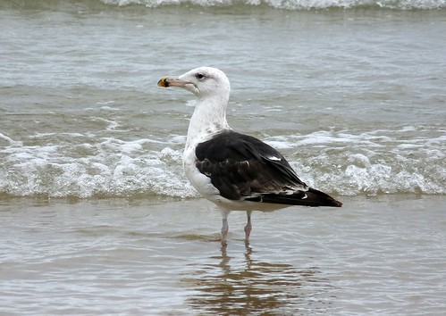 22273 - Great Black Backed Gull, Newquay