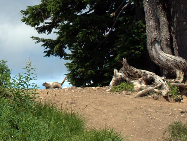 Sauk Mountain Marmot