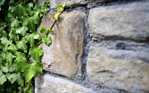 Stone Wall and Ivy, St Matthews Church