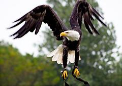 bald eagle (MartinTheHat (Martin Lowery)) Tags: wings cornwall flight baldeagle birdofprey talons paradisepark canon50d tamron70200