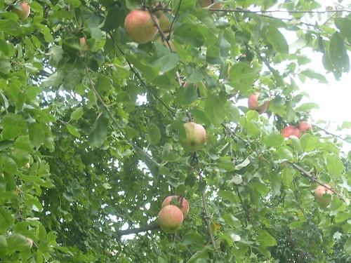 Äpplen i väntan på att tas i bruk