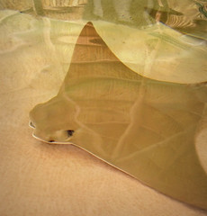 Cownose Ray (scilit) Tags: nature water animal reflections aquarium stingray pettingzoo naturesfinest 500x500 blueribbonwinner cownoseray naturesgarden bej finestnature rubyphotographer waterenvirons naturesgardenplatinum naturescarousel hpmguild squarephto
