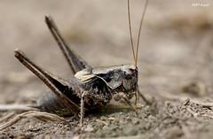 Pholidoptera griseoaptera, Pyrnes-atlantiques (MP7Aquit) Tags: macro nature animal insect wildlife sony alpha animaux tamron 90 insecte invertebrate 550 invertebrado orthoptre tamronspaf90mmf28dimacro invertbr