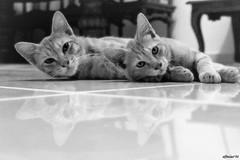 pair.... (affacino) Tags: pet cat blackwhite sony alpha a300