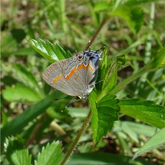 Red-banded Hairstreak (Daisy Mai-ling) Tags: butterfly hairstreak redbanded redbandedhairstreak calycopiscecrops insectsandspiders groundstreak lincolncountymo