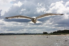 (   flickrsprotte  ) Tags: birds strand meer wasser gulls unterwegs mwe sonnig ostsee kiel falkenstein kielerfrde flickrsprotte