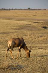 Topi - Maasai Mara, Kenya