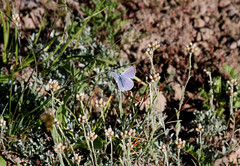 Blue Copper Butterfly (Lycaena heteronea), male (Arboreal Boids) Tags: male oregon lepidoptera alpine copper steens harneycounty bluebutterfly bluecopper lycaeninae lycaenaheteronea steensmountains chalceria variedblue bluishcopper