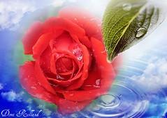 Mes Amis (Domi Rolland ) Tags: france nature rose canon rouge eau europe vert bleu beauté goutte douceur aveyron 2011 midipyrénées g9 abigfave
