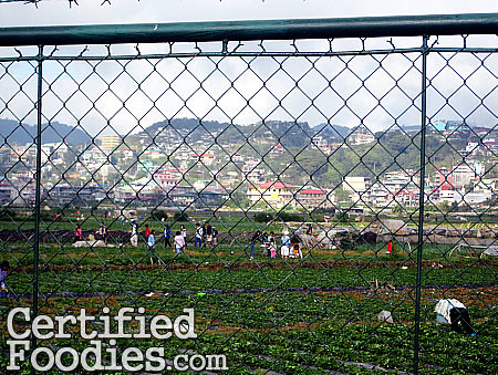 Strawberry Farm in La Trinidad in Baguio City - CertifiedFoodies.com
