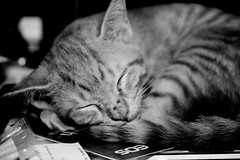 Little Joey takes a snooze (stratman² (busy-taking care of Joey)) Tags: gatos kitten orangecats friendsoftom oreengeness kissablekat gingercats hganimalsonly vg~catsgallery kittyschoice kittysuperstar animalplanet blackandwhite oreengenesses kittehs cats kittens littlejoey canonphotography efs60mmf28macrousm eos450d friendsofzeusphoebe dfp chat kucing comel cuteness 猫 creativecommons ccbyncnd cute katzen kitteh feline cat ginger
