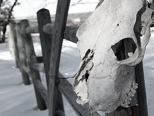 Cow Skull on Corral Fence