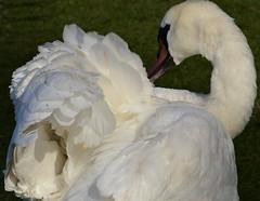 Fluffed (n10rra) Tags: white love nature beauty swan glasgow waterbird grace explore mute