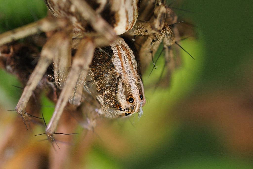 斜紋貓蛛 Oxyopes sertatus