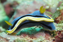 Chromodoris annae (BJSmit) Tags: philippines scuba diving nudibranch underwaterphotography duiken chromodoris alonabeach chromodorisannae inonz240