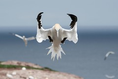 DSC_6749-Edit-Edit (KarenNS) Tags: 2016 birds bonaventureisland gaspe perce bird gannet