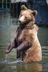 Europäischer Braunbär (ab-planepictures) Tags: bär braunbär bear zoo zoom gelsenkirchen tier animal wasser baden water