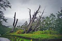 DSC07334 (rc90459) Tags: 最後的夫妻樹 夫妻樹 塔塔加 玉山