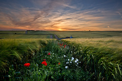 Strip of colour in a green world. (Through Bri`s Lens) Tags: sussexdowns sussex wheat poppies wildflowers cerealcrop farm farmer brianspicer canon5dmk3 canon1635f4