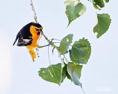 Oriole Hunts For Bugs On Leaves (dcstep) Tags: oriole bullocksoriole bird orange yellow black englewood colorado unitedstates us n7a0015dxo cherrycreekstatepark nature urban urbannature allrightsreserved copyright2017davidcstephens dxoopticspro114 canon5dmkiv ef500mmf4lisii pixelpeeper handheld ecoregistrationcase15586202651