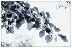 Birch Summer #fujilove #Fujifilm #XPro2 #35mmf2rwr #enlight (N.A. Dikin) Tags: blackandwhite summer birch 35mmf2rwr xpro2 fujifilm
