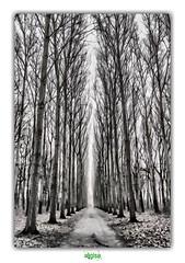 JUST WATCHING THE TREES (régisa) Tags: kasteel elverdinge belgium belgie belgique vlaanderen allée alignement alignment tree arbre joydivision