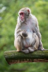 2017-07-02-14h47m29.BL7R2922 (A.J. Haverkamp) Tags: canonef100400mmf4556lisiiusmlens amsterdam noordholland netherlands zoo dierentuin httpwwwartisnl artis thenetherlands japansemakaak japanesemacaque nl