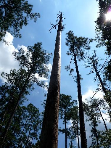 Soaring Pines