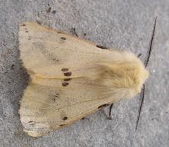 Buff Ermine moth