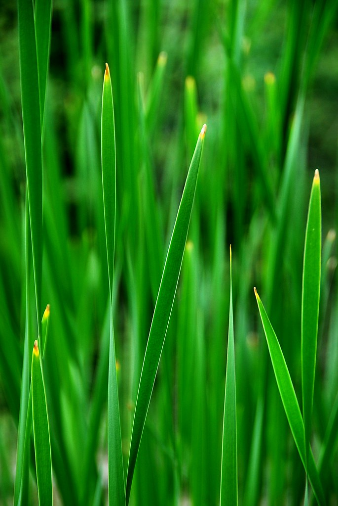 Cattail leaves.