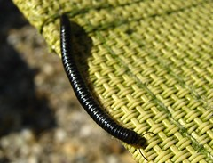 Millipede =D =D (Ceridwen*M) Tags: summer black hot cute june insect legs friendly top20nature millipede 2010 justgeotaggedflowersandwildlife