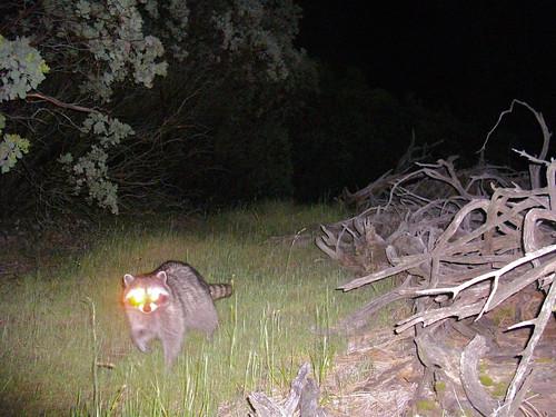 bright-eyed raccoon