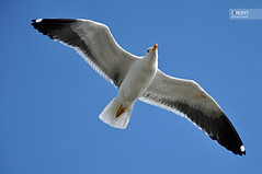 Gull (osteras) Tags: sky white bird wings gull blus nikond90
