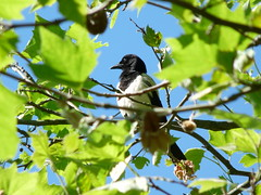Magpie on a summer afternoon