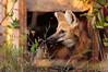 Lobo Guará (Luiz Alfredo Baptista) Tags: fauna top20nature animais mouseion