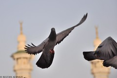 Showing off !!  (Sultan Al-Enezi) Tags: bird pigeon dove off showing