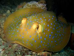 Blue-Spotted Ribbontail Ray (Taeniura lymma) (Brian Mayes) Tags: canon ray underwater stingray scuba diving malaysia perhentian kecil 956 besar bluespotted g9 ribbontail taeniuralymma brianmayes canong9 tokonglautseatemple