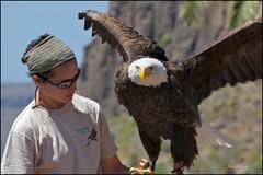 beauties (susodediego ) Tags: nature grancanaria adler baldeagle canaryislands aquila águia aigle arend águila palmitospark 鹰 орел nikond300 αετόσ