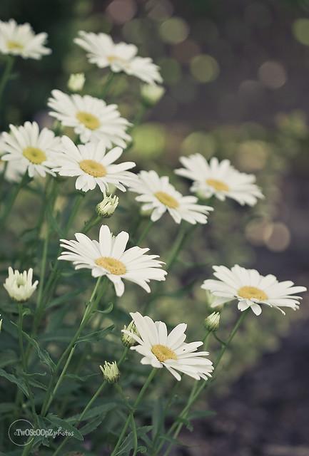 Daisy - The Other Kind 181/365