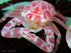 Porcelain Crab (Lissoporcellana sp.) (Brian Mayes) Tags: canon underwater scuba diving explore malaysia perhentian 964 kecil besar porcelaincrab g9 interestingness268 i500 brianmayes canong9 pasirngalarromanticbay lissoporcellanasp