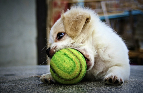 [フリー画像] 動物, 哺乳類, イヌ科, 犬・イヌ, 子犬・小犬, 201007061100