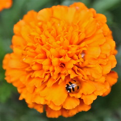 ladybug explosion (manywinters) Tags: alaska ladybug marigold fairbanks goodthing fourdots aphideaters