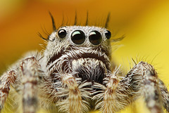 Immature Phidippus sp. (Sam Martin (abikeOdyssey)) Tags: macro eye hair spider jumping eyes furry nikon image fuzzy arachnid flash tube tubes sp micro jumper extension nikkor immature speedlight softbox diffuser 60 folding hairs invertebrate arthropod salticid d60 stacker phidippus speedlite kenko chelicerae zerene sb400 notyournormalbug