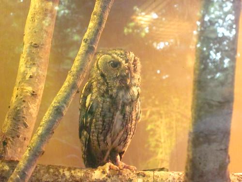 Screech owl at Bear Hollow.