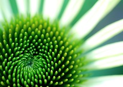 drawn in. (gardinergirl) Tags: summer white toronto flower macro green petals highpark blossom echinacea centre bloom coneflower explored 60mm28micro