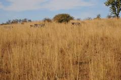 DSC_7689 (kcadpchair) Tags: elephant southafrica jackal safari leopard rhino zebra crocodile giraffe impala gnu grayheron springbok fisheagle guineafowl gamereserve waterbuck whiterhino gemsbok whitebreastedcormorant crimsonbreastedshrike