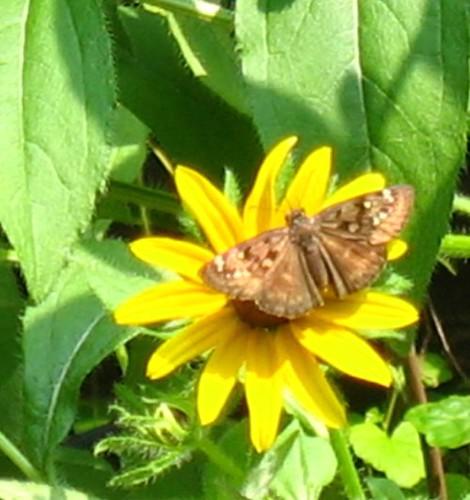 resize nat note moth IMG_1395