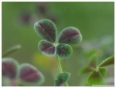 Lucky Leaf